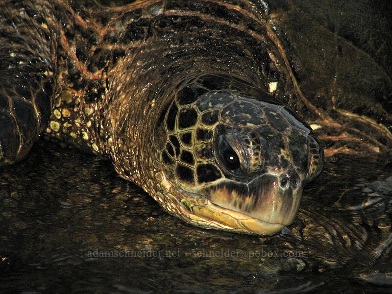 green sea turtle (Chelonia mydas) [Waikomo Stream, Koloa Landing, Kaua'i, Hawaii]