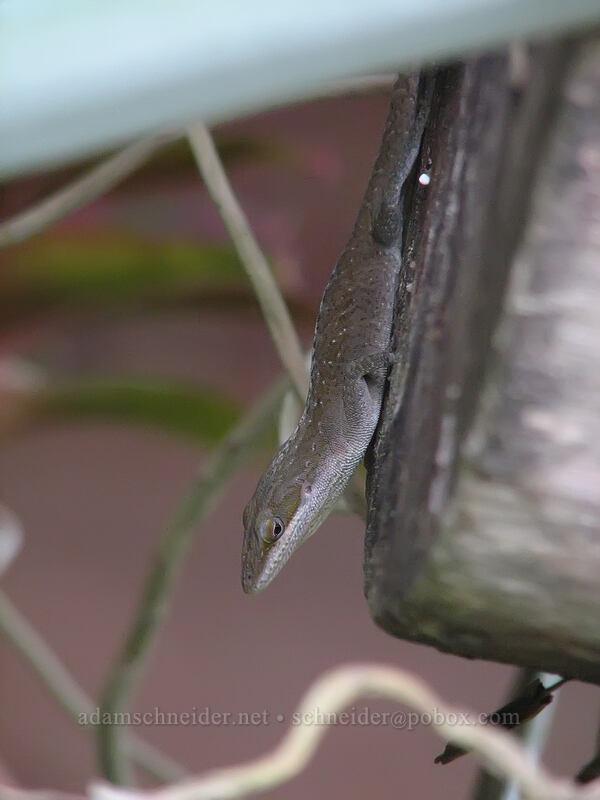 female anole (Anolis carolinensis) [National Tropical Botanical Garden, Kukui'ula, Kaua'i, Hawaii]