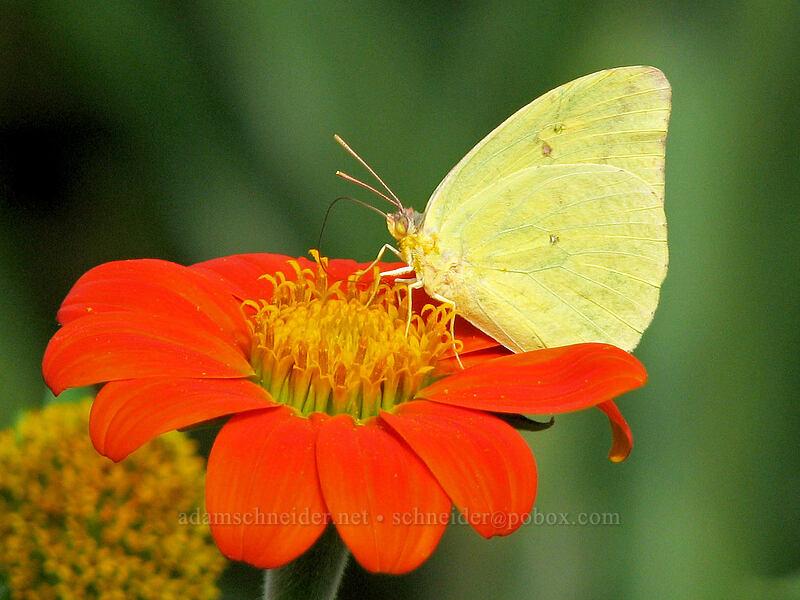 butterfly on flower [National Tropical Botanical Garden, Kukui'ula, Kaua'i, Hawaii]