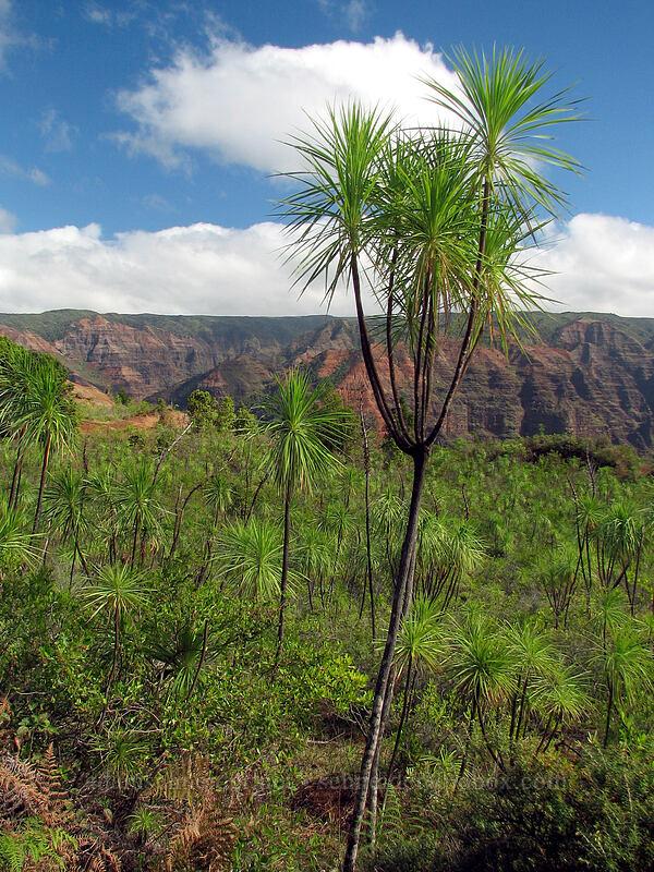 iliau trees (Wilkesia gymnoxiphium) [Kukui Trail, Waimea Canyon State Park, Kaua'i, Hawaii]