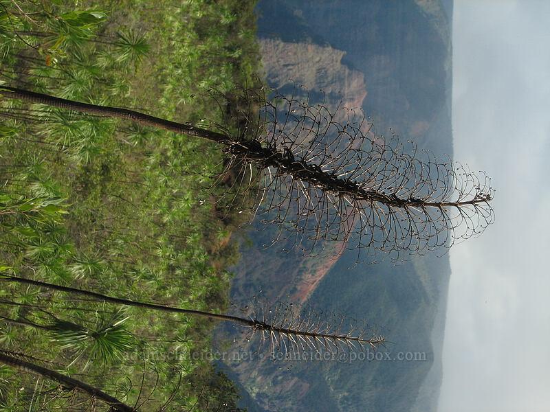iliau flower stalks (Wilkesia gymnoxiphium) [Kukui Trail, Waimea Canyon State Park, Kaua'i, Hawaii]