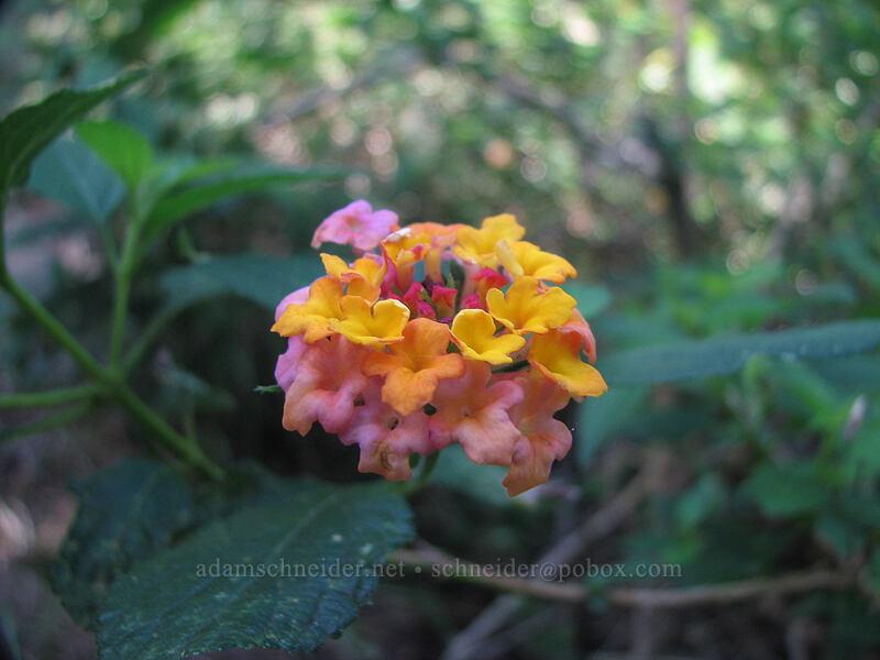 lantana flowers (Lantana camara) [Canyon Trail, Koke'e State Park, Kaua'i, Hawaii]