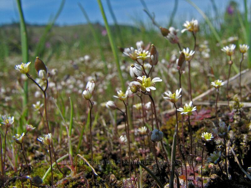 spring Whitlow-grass (Draba verna) [Catherine Creek, Klickitat County, Washington]