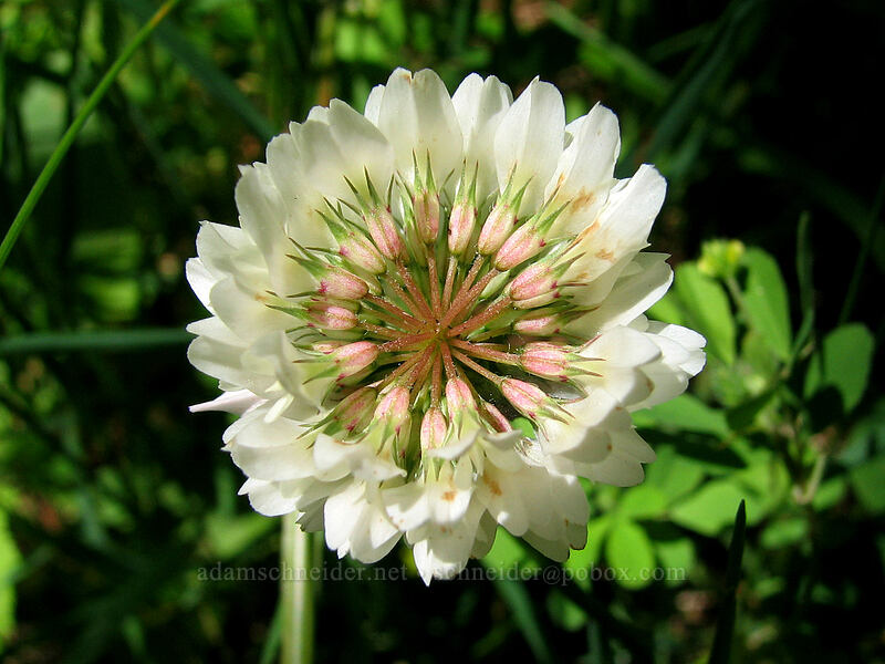 white clover (Trifolium sp.) [Neahkanie Mountain, Oswald West State Park, Oregon]