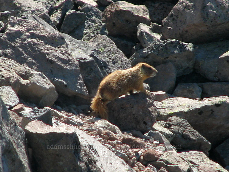 yellow-bellied marmot (Marmota flaviventris) [above McNeil Point, Mt. Hood Wilderness, Oregon]