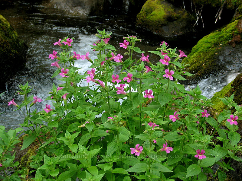 Lewis' monkeyflower in Whitewater Creek (Erythranthe lewisii (Mimulus lewisii)) [Whitewater Trail, Mt. Jefferson Wilderness, Oregon]