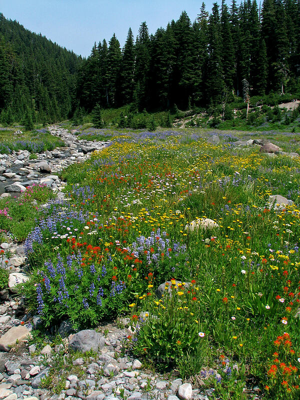 wildflowers [Breitenbush River, Jeff. Park, Mt. Jefferson Wilderness, Oregon]