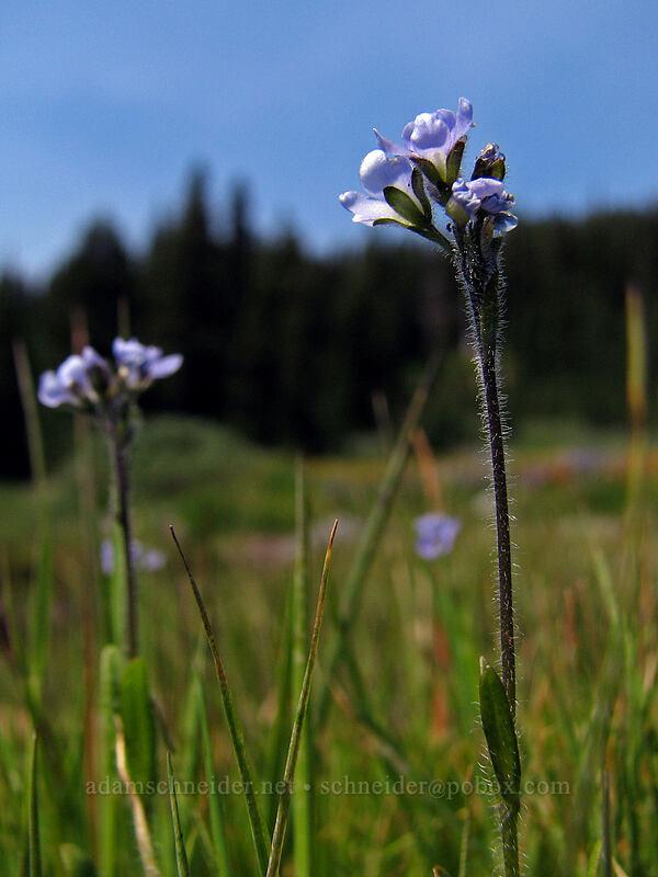 alpine speedwell (Veronica wormskjoldii) [Breitenbush River, Jeff. Park, Mt. Jefferson Wilderness, Oregon]