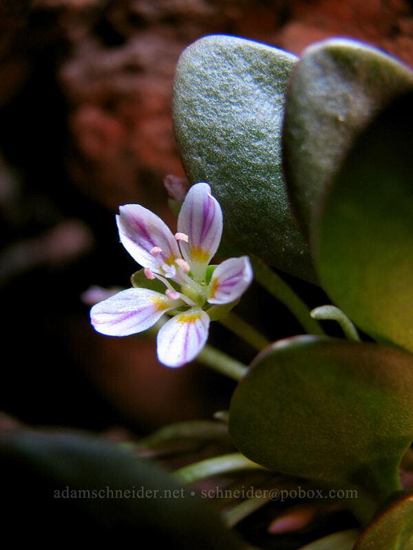 alpine spring-beauty (Claytonia megarhiza) [South Sister Trail, Three Sisters Wilderness, Oregon]