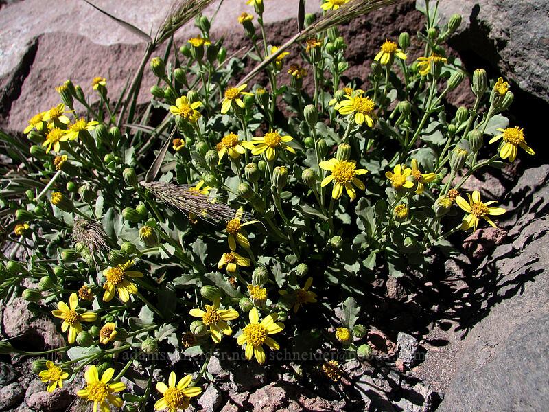 dwarf mountain groundsel (Senecio fremontii) [South Sister Trail, Three Sisters Wilderness, Oregon]