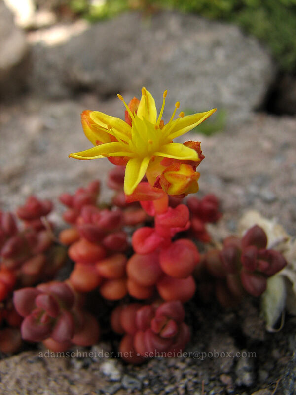 spreading stonecrop (Sedum divergens) [south end of Barrett Spur, Mt. Hood Wilderness, Oregon, United States]