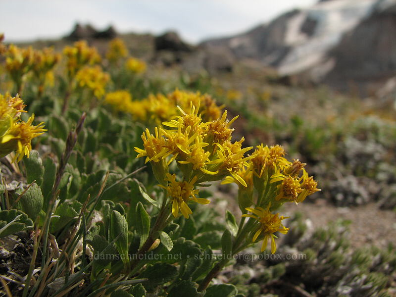 groundsel [south end of Barrett Spur, Mt. Hood Wilderness, Oregon, United States]