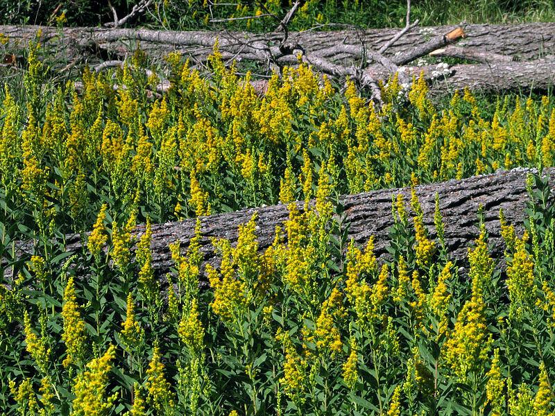 goldenrod (Solidago sp.) [Umbrella Falls Trail, Mt. Hood National Forest, Oregon, United States]