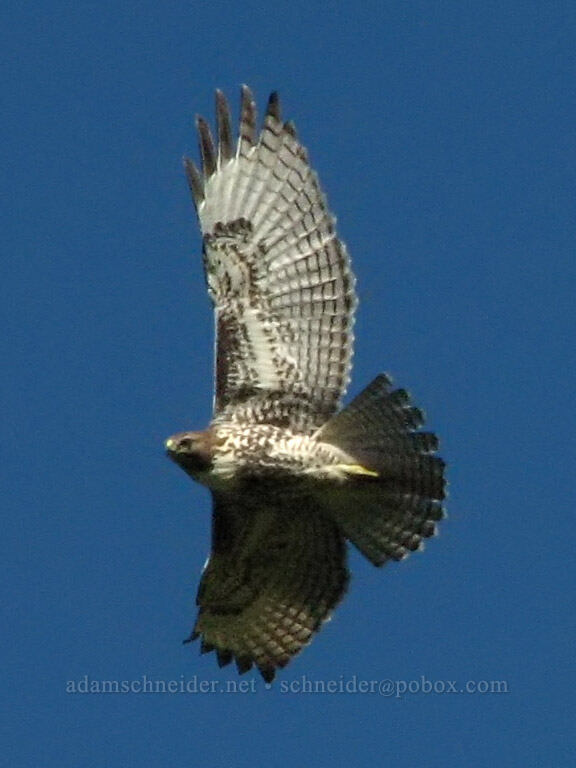 red-tailed hawk (Buteo jamaicensis) [Mount Hood Meadows, Mt. Hood National Forest, Oregon, United States]
