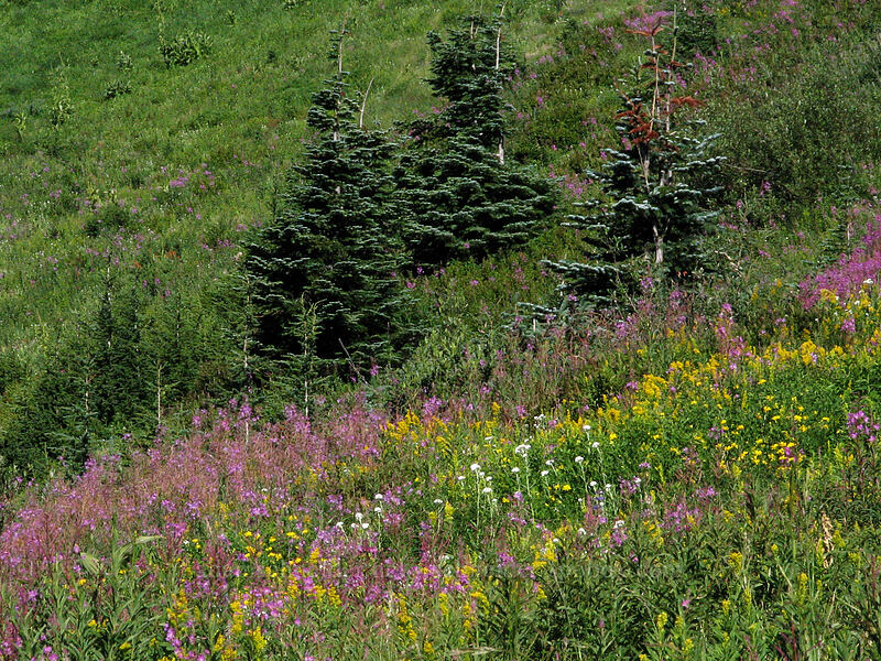 fireweed & goldenrod (Chamerion angustifolium (Epilobium angustifolium), Solidago sp.) [Mount Hood Meadows, Mt. Hood National Forest, Oregon, United States]