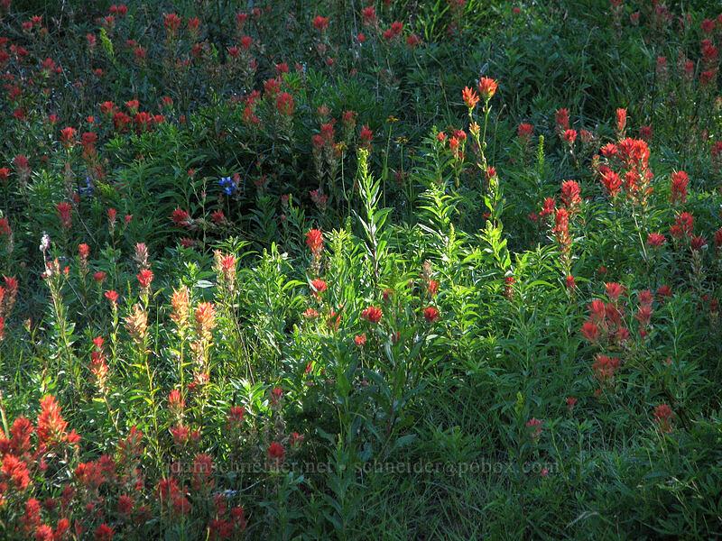 paintbrush (Castilleja sp.) [Mount Hood Meadows, Mt. Hood National Forest, Oregon, United States]