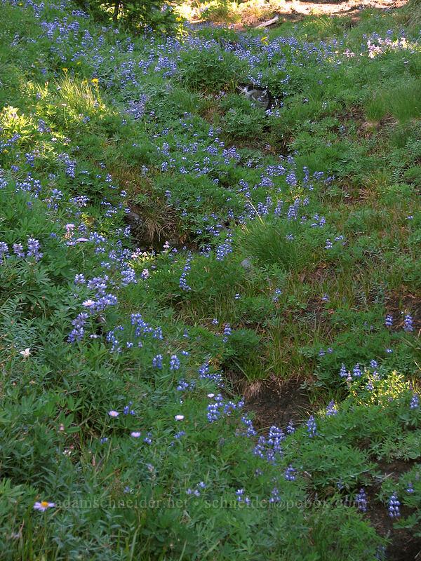 lupines (Lupinus latifolius) [Mount Hood Meadows, Mt. Hood National Forest, Oregon, United States]