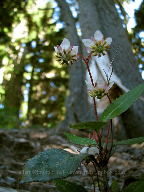 pipsissewa (Chimaphila sp.) [Timberline Trail, Mt. Hood National Forest, Oregon, United States]