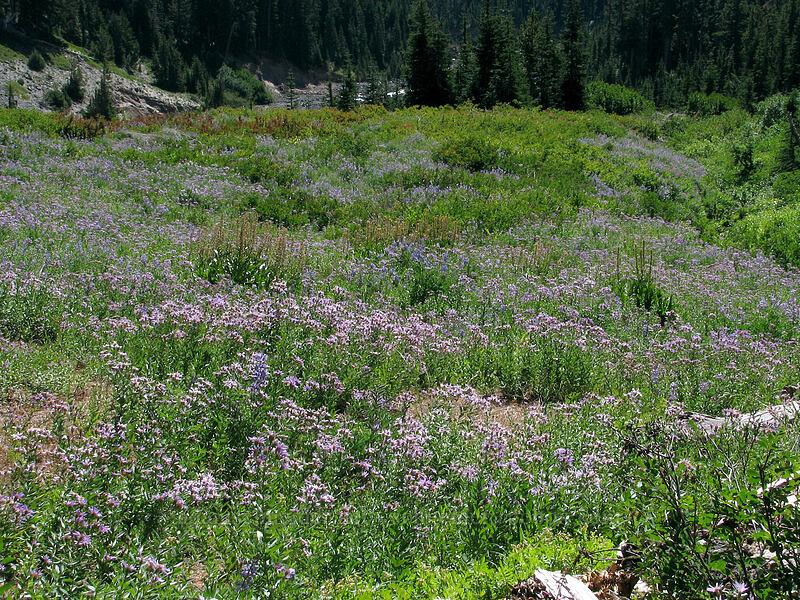 field full of asters (Eucephalus ledophyllus (Aster ledophyllus)) [Timberline Trail, Mt. Hood National Forest, Oregon, United States]