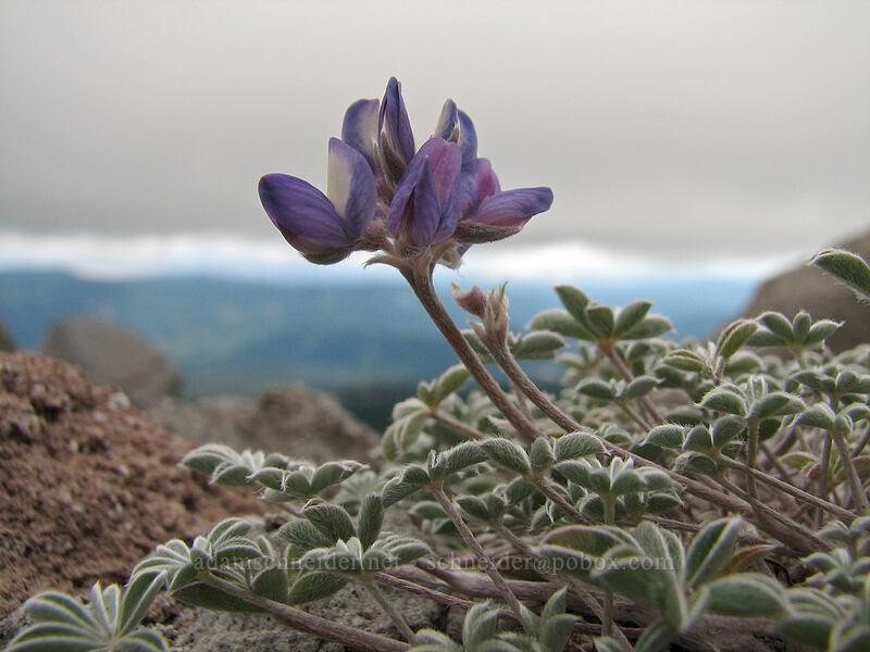 dwarf lupine (Lupinus lepidus var. lobbii) [Newton-Clark Ridge, Mt. Hood National Forest, Oregon, United States]