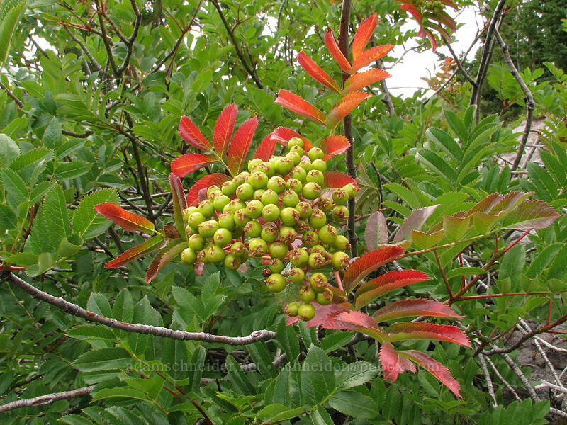 Sitka mountain ash [TImberline Trail, Mt. Hood National Forest, Oregon, United States]