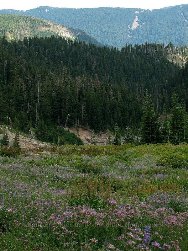 field full of asters and lupine (Eucephalus ledophyllus (Aster ledophyllus), Lupinus latifolius) [TImberline Trail, Mt. Hood National Forest, Oregon, United States]