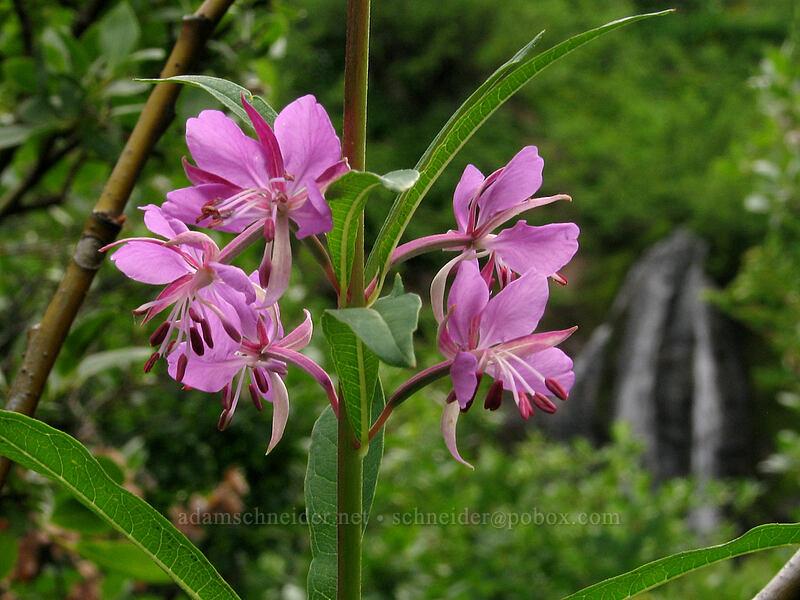 fireweed (Chamerion angustifolium (Epilobium angustifolium)) [TImberline Trail, Mt. Hood National Forest, Oregon, United States]