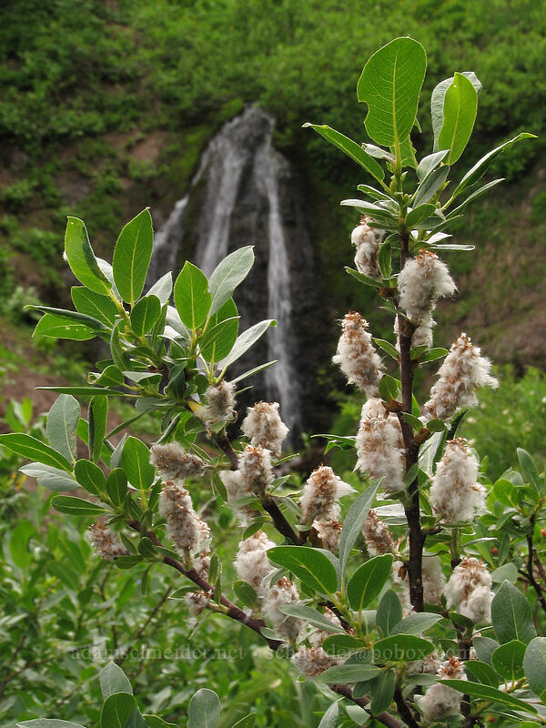 willow (Salix sp.) [TImberline Trail, Mt. Hood National Forest, Oregon, United States]