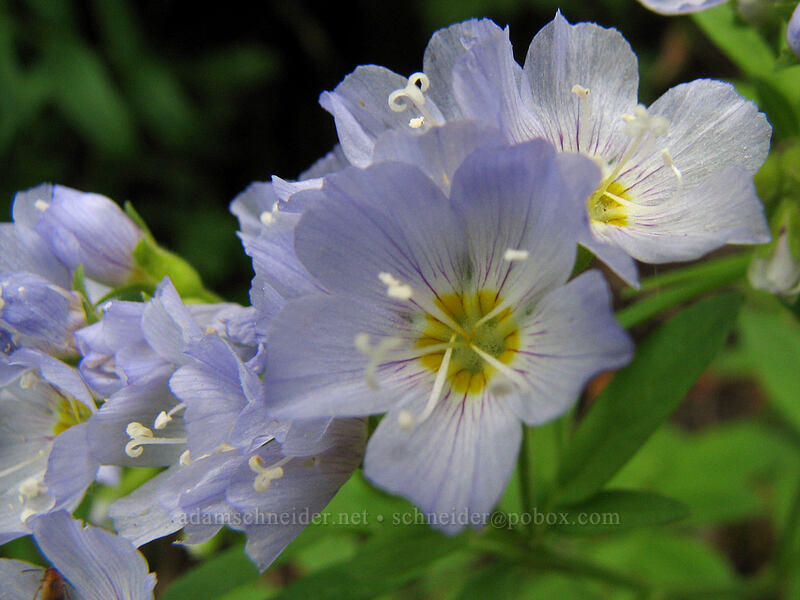 showy Jacob's ladder [TImberline Trail, Mt. Hood National Forest, Oregon, United States]