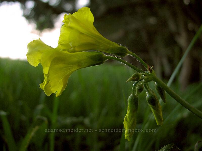 Bermuda sorrel (sourgrass) (Oxalis pes-caprae) [Mima Meadow, UCSC, Santa Cruz, California]