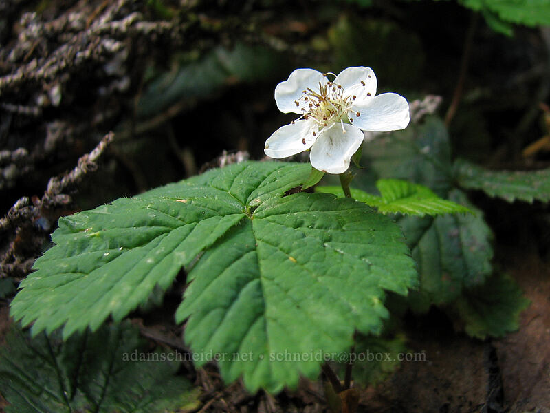 dwarf bramble (Rubus lasiococcus) [Pacific Crest Trail, Mt. Jefferson Wilderness, Oregon]