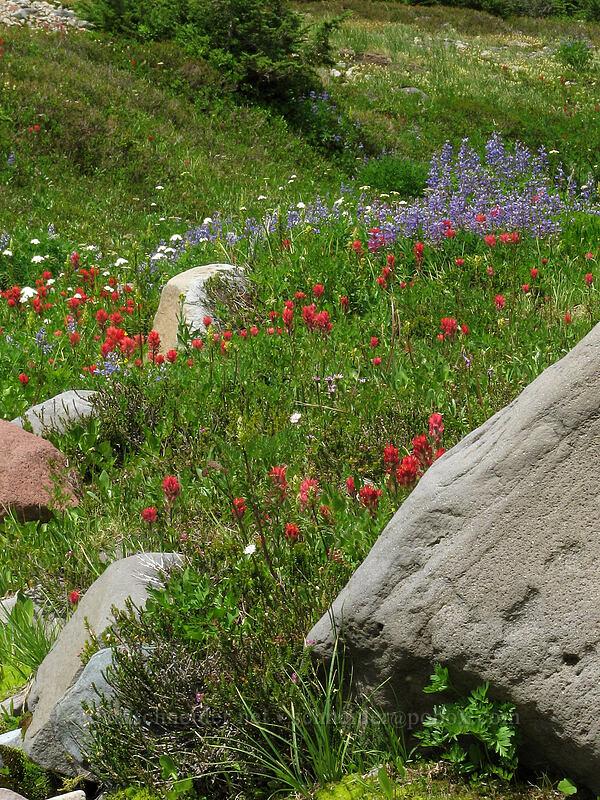 wildflowers (Lupinus latifolius, Castilleja miniata, Valeriana sitchensis) [Pacific Crest Trail, Mt. Jefferson Wilderness, Oregon]