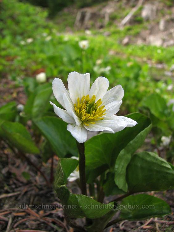white marsh-marigold (Caltha leptosepala) [South Breitenbush River, Jefferson Park, Mt. Jefferson Wilderness, Oregon]