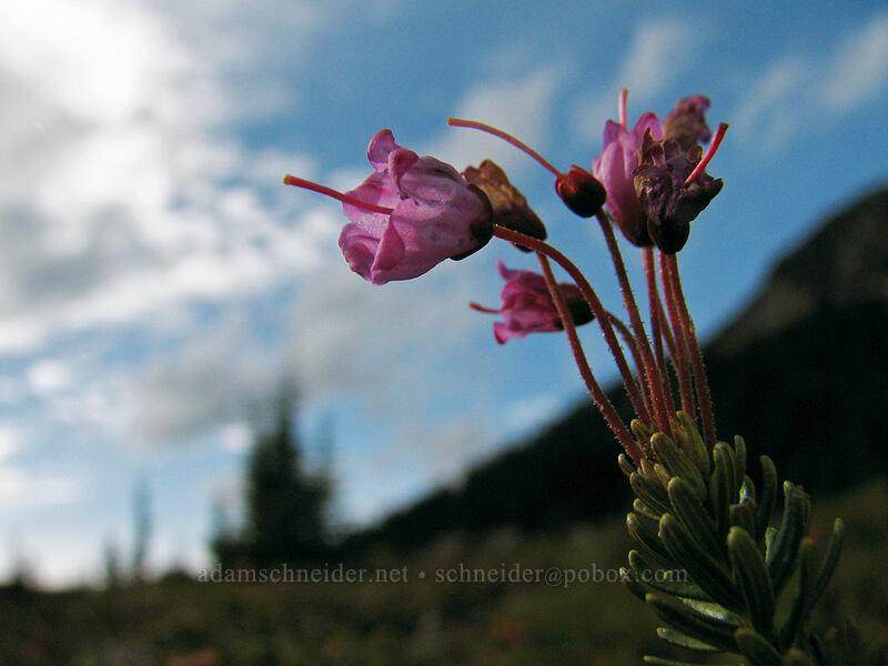 pink mountain heather (Phyllodoce empetriformis) [PCT, Jefferson Park, Mt. Jefferson Wilderness, Oregon]