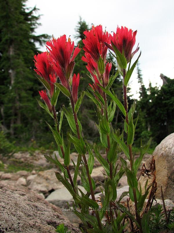 paintbrush (Castilleja parviflora var. oreopola) [Pacific Crest Trail, Mt. Jefferson Wilderness, Oregon]