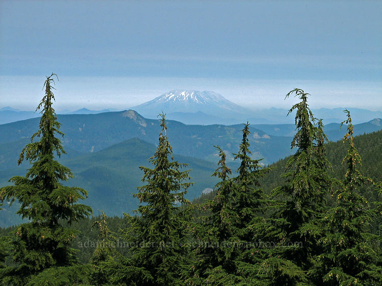 Mt. St. Helens & hemlocks (Tsuga mertensiana) [Timberline Trail, Mt. Hood Wilderness, Oregon]