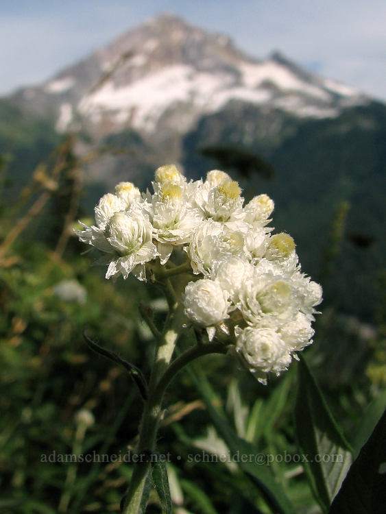 pearly everlasting & Mount Hood (Anaphalis margaritacea) [Bald Mountain, Mt. Hood Wilderness, Oregon]