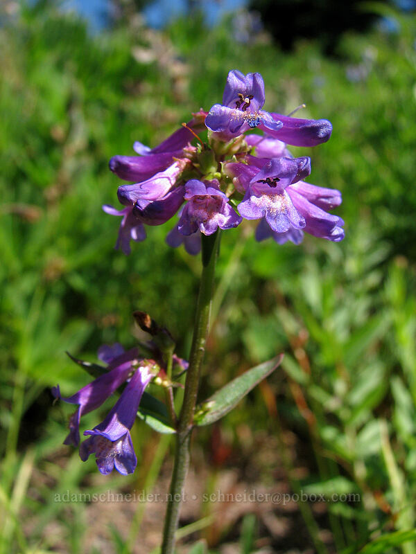 penstemon (Penstemon sp.) [Paradise Park, Mt. Hood Wilderness, Oregon]