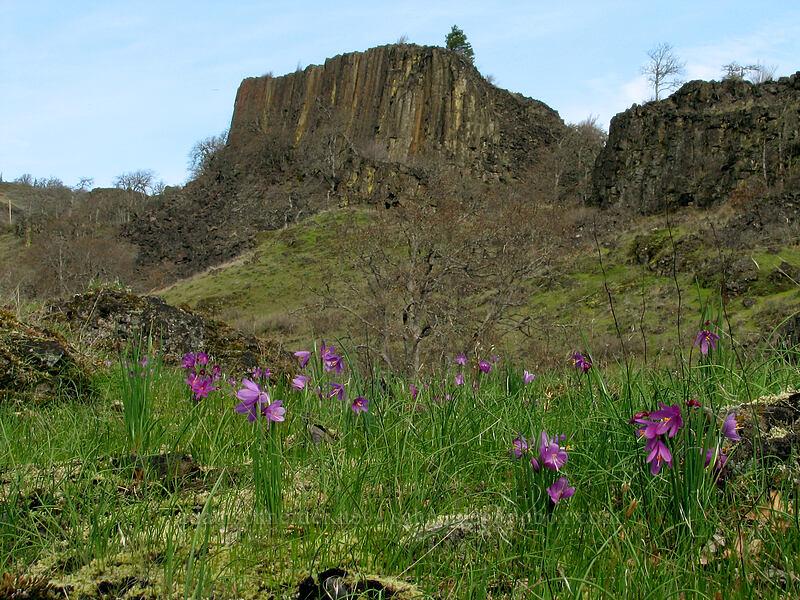 grass widows & basalt (Olsynium douglasii) [The Labyrinth, Klickitat County, Washington]