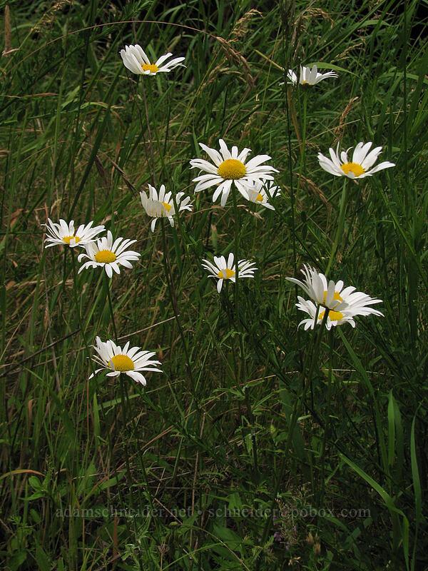 ox-eye daisies (Leucanthemum vulgare) [Summit Creek Canyon, Columbia River Gorge, Oregon]