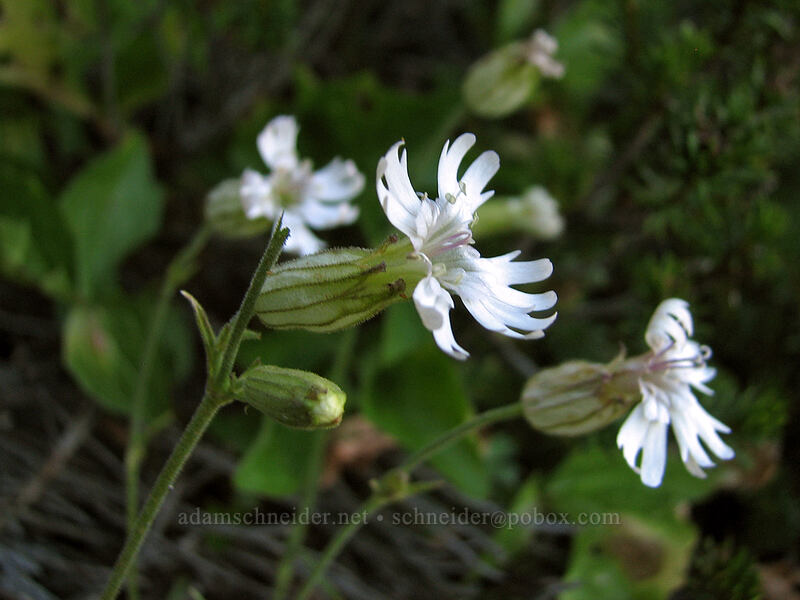 white catchfly (Silene parryi) [east side of Lemei Rock, Indian Heaven Wilderness, Washington]