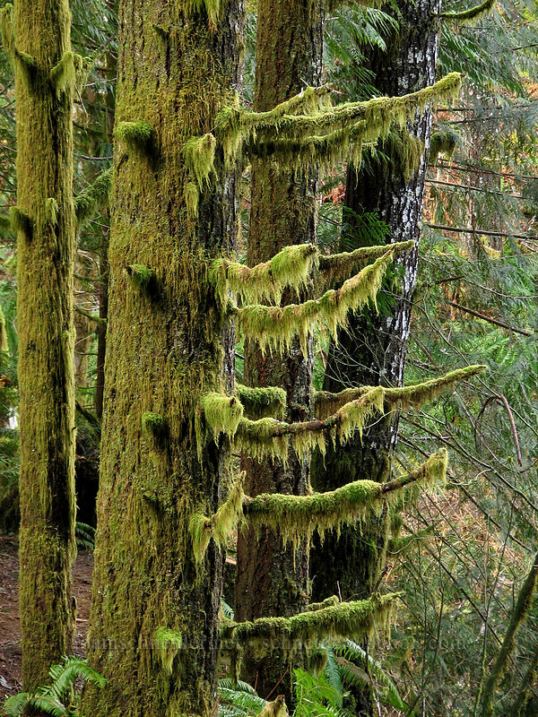 moss on evergreens [Gales Creek Trail, Tillamook State Forest, Oregon]