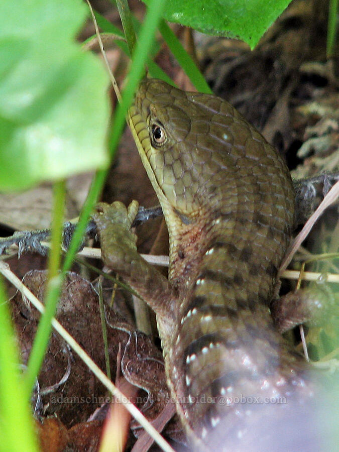 alligator lizard (Elgaria coerulea) [Catherine Creek, Klickitat County, Washington]