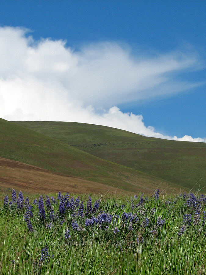 lupines in the Columbia Hills [Dalles Mountain Road, Klickitat County, Washington]