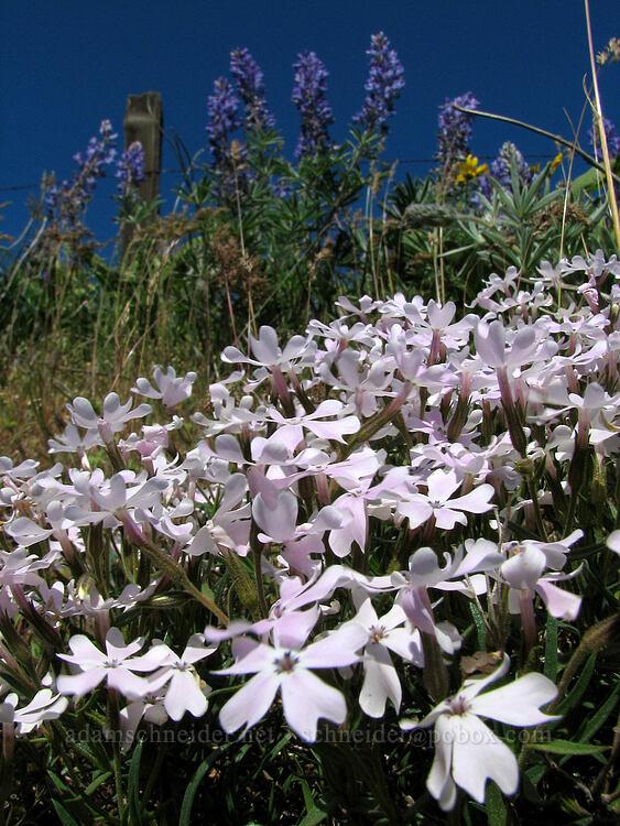 showy phlox (Phlox speciosa) [Dalles Mountain Road, Klickitat County, Washington]