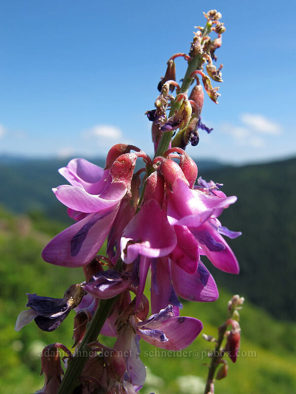 western sweet-vetch (Hedysarum occidentale) [Silver Star Mountain Trail, Gifford Pinchot Nat'l Forest, Washington]