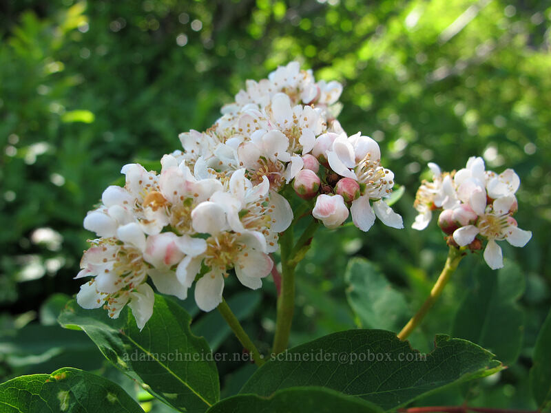Sitka mountain-ash flowers (Sorbus sitchensis) [Ed's Trail, Silver Star Mountain, Gifford Pinchot Nat'l Forest, Washington]