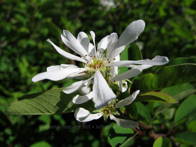 serviceberry flowers (Amelanchier alnifolia) [Ed's Trail, Silver Star Mountain, Gifford Pinchot Nat'l Forest, Washington]