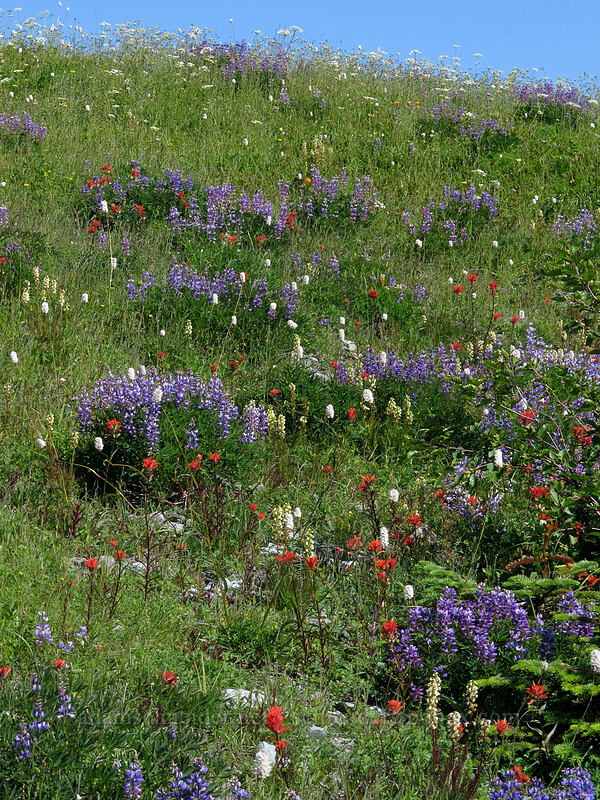 Wildflowers [Silver Star Mountain Trail, Gifford Pinchot Nat'l Forest, Washington]