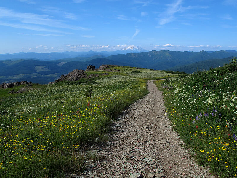 Mt. St. Helens & trail through wildflowers [Silver Star Mountain Trail, Gifford Pinchot Nat'l Forest, Washington]